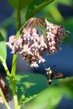 A snowberry clearwing moth in Sudbury, photographed by Dawn Dentzer.
