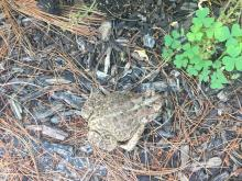 An American toad at SVT's Wolbach Farm in Sudbury, photographed by Michael Sanders.