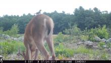 An American goldfinch perched on a white-tailed deer in Boxborough, photographed with an automatically triggered wildlife camera by Steve Cumming.