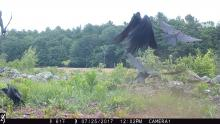 American crows in Boxborough, photographed with an automatically triggered wildlife camera by Steve Cumming.