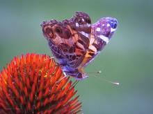 An American lady butterfly in Northborough, photographed by Sandy Howard.