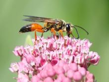 A great golden digger wasp at Grist Mill Pond in Sudbury, photographed by Steve Forman.