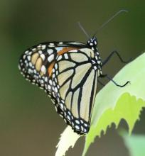 A monarch butterfly at Grist Mill Pond in Sudbury, photographed by Steve Forman.