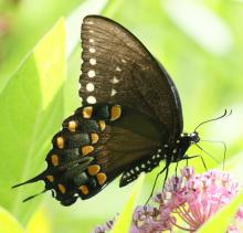 A spicebush swallowtail butterfly at Grist Mill Pond in Sudbury, photographed by Steve Forman.