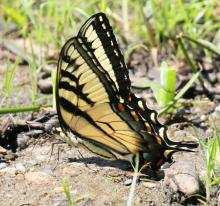 An eastern tiger swallowtail butterfly at Heard Pond in Wayland, photographed by Steve Forman.