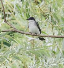 An eastern kingbird at Grist Mill Pond in Sudbury, photographed by Steve Forman.