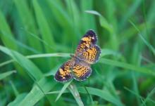 A pearl crescent butterfly in Sudbury, photographed by Dawn Dentzer.