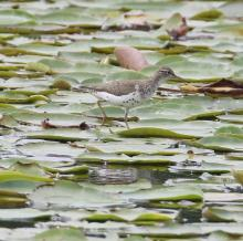 A spotted sandpiper at Farm Pond in Framingham, photographed by Steve Forman.