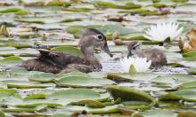 Wood ducks at Farm Pond in Framingham, photographed by Steve Forman.