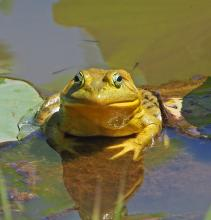 An American bullfrog in Framingham, photographed by Joan Chasan.