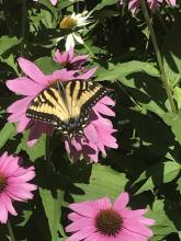An eastern tiger swallowtail butterfly in Marlborough, photographed by Karin Paquin.