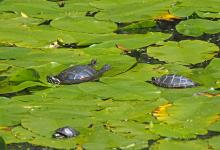 Painted turtles in Framingham, photographed by Joan Chasan.