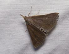 A crambid snout moth in Lincoln, photographed by Norm Levey.