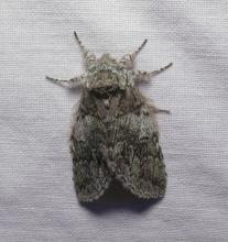 A dagger moth in Lincoln, photographed by Norm Levey.