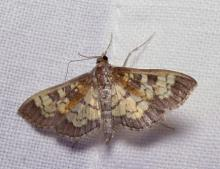 A Eulithis moth in Lincoln, photographed by Norm Levey.
