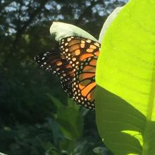 A monarch butterfly in Framingham, photographed by Nancy Shaw.