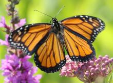 A monarch butterfly at Farm Pond in Framingham, photographed by Steve Forman.