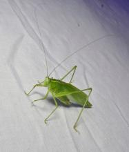 A northern bush katydid in Lincoln, photographed by Norm Levey.