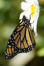 A monarch butterfly in Sudbury, photographed by Dawn Dentzer.