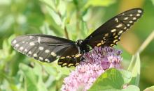 A black swallowtail at Farm Pond in Framingham, photographed by Steve Forman.