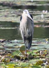 A great blue heron at Farm Pond in Framingham, photographed by Steve Forman.