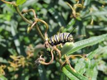 A monarch caterpillar in Sudbury, photographed by Dave Longland.