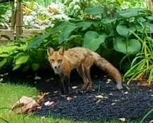 A red fox in Framingham, photographed by Andrea Carr-Evans.