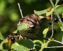 A song sparrow at SVT's Memorial Forest in Sudbury, photographed by Dan Trippe.