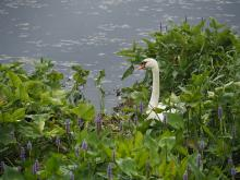 A mute swan in Stow, photographed by Wayne Hall.