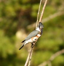 A belted kingfisher at Assabet River National Wildlife Refuge in Sudbury, photographed by Dan Trippe.