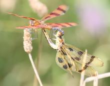 Halloween pennant dragonflies at Farm Pond in Framingham, photographed by Steve Forman.