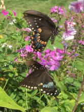 Spicebush swallowtail butterflies in Sudbury, photographed by Dawn Dentzer.