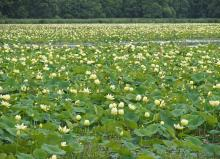 American lotus blossoms at Great Meadows National Wildlife Refuge in Concord, photographed by Joan Chasan.