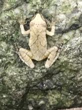 A spring peeper in Marlborough, photographed by Karin Paquin.
