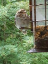 A house sparrow in Northborough, photographed by Marnie Frankian.