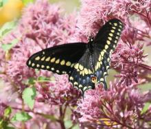 A black swallowtail at Breakneck Hill Conservation Land in Southborough, photographed by Steve Forman.