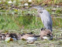 A great blue heron and Canada geese at Farm Pond in Framingham, photographed by Steve Forman.
