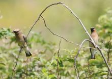 Cedar waxwings in Southborough, photographed by Steve Forman.