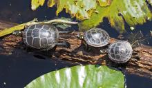 Painted turtles at Broadmoor Wildlife Sanctuary in Natick, photographed by Joan Chasan.