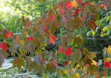 Red maple leaves at Broadmoor Wildlife Sanctuary in Natick, photographed by Joan Chasan.