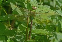 A common green darner at Forty Caves in Berlin, photographed by Greg Dysart.
