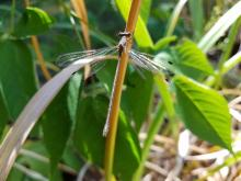 A pond spreadwing damselfly in Northborough, photographed by Marnie Frankian.