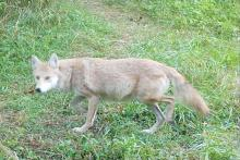 A coyote in Stow, photographed with an automatically triggered wildlife camera by Kathy Sferra.