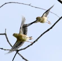 American goldfinches at Breakneck Hill Conservation Land in Southborough, photographed by Steve Forman.