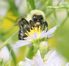 A bumble bee at Grist Mill Pond in Sudbury, photographed by Steve Forman.