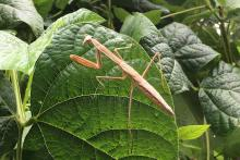 A praying mantis in Framingham, photographed by Gerry White.