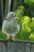 A red-tailed hawk in Framingham, photographed by Gerry White.