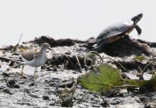 A spotted sandpiper and a painted turtle at Farm Pond in Framingham, photographed by Steve Forman.