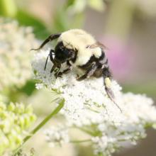 A bumble bee at Tower Hill Botanic Garden in Boylston, photographed by Steve Forman.
