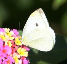 A cabbage white butterfly at Tower Hill Botanic Garden in Boylston, photographed by Steve Forman.